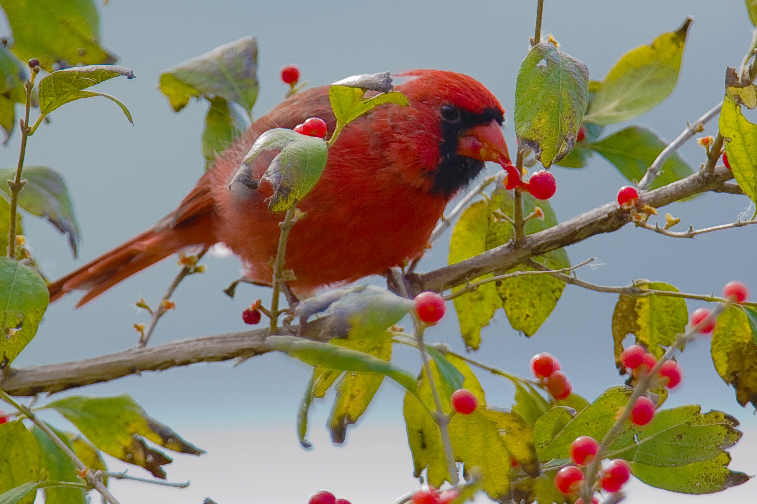 animals birds photography berry leaves nature wildlife trees