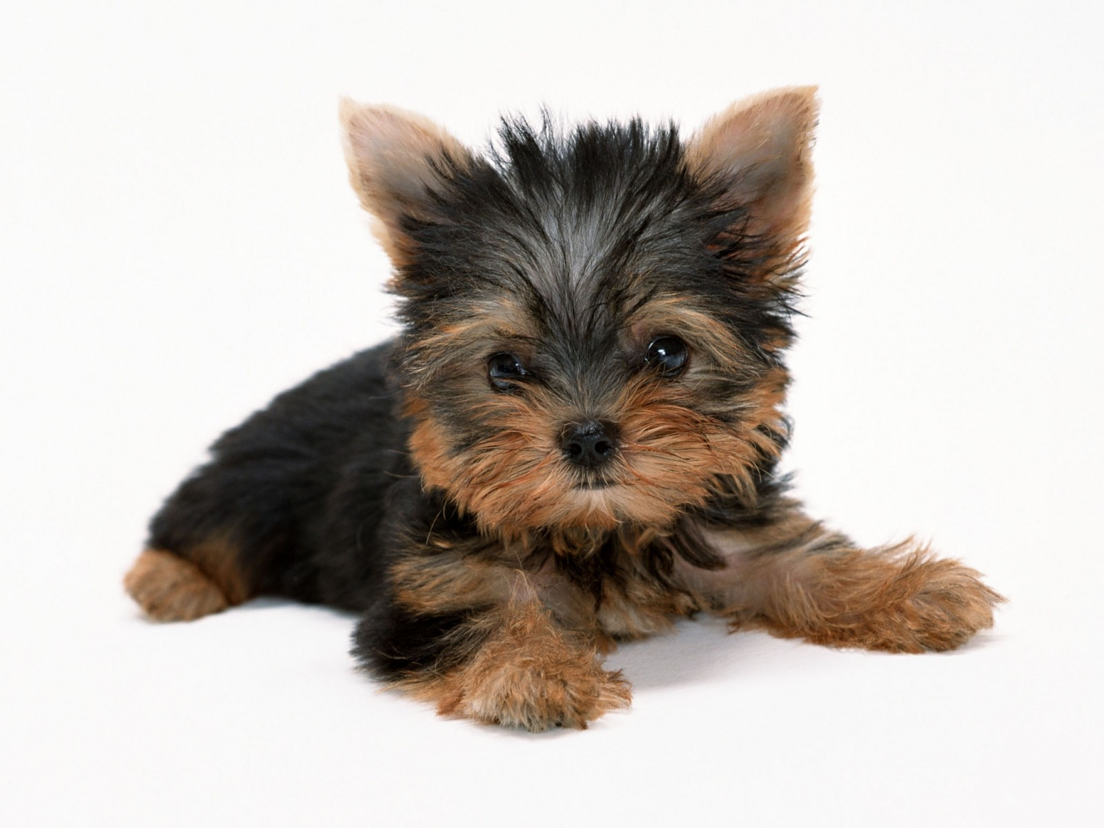 animals dogs puppies Yorkshire Terrier white background