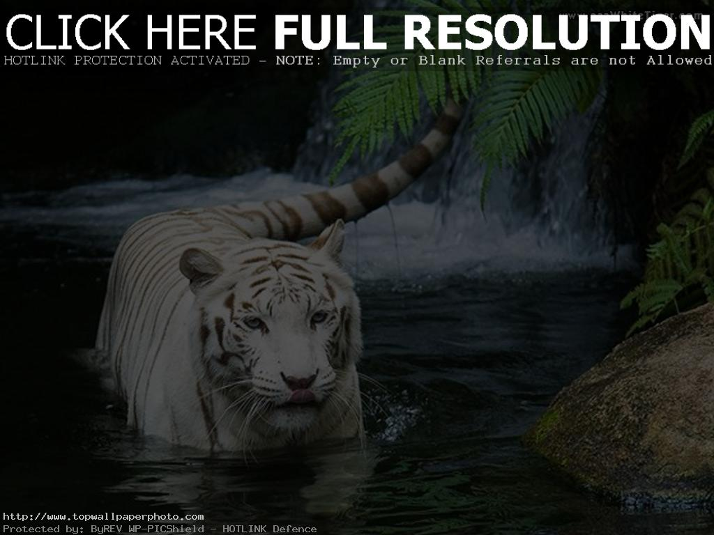 animals tigers
