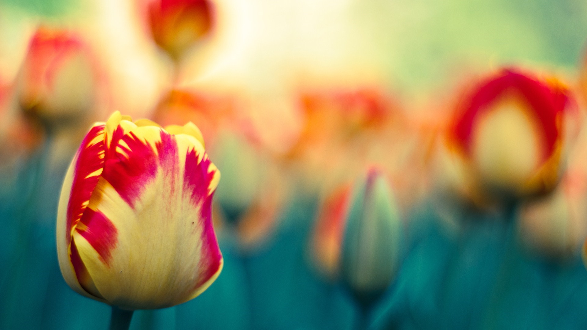 Awesome Tulips Flowers Photo