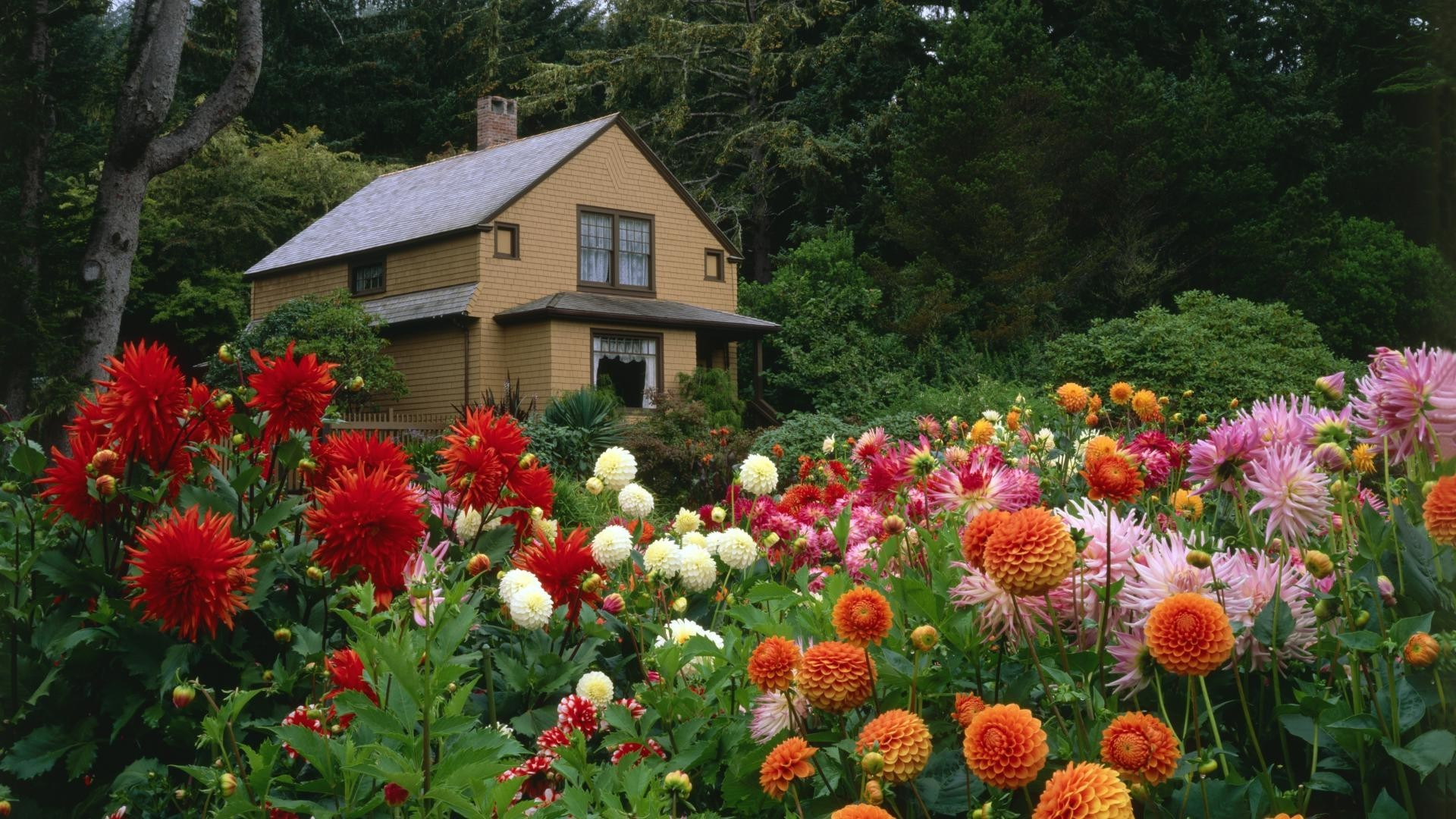 Beautiful dahlia garden next to the house