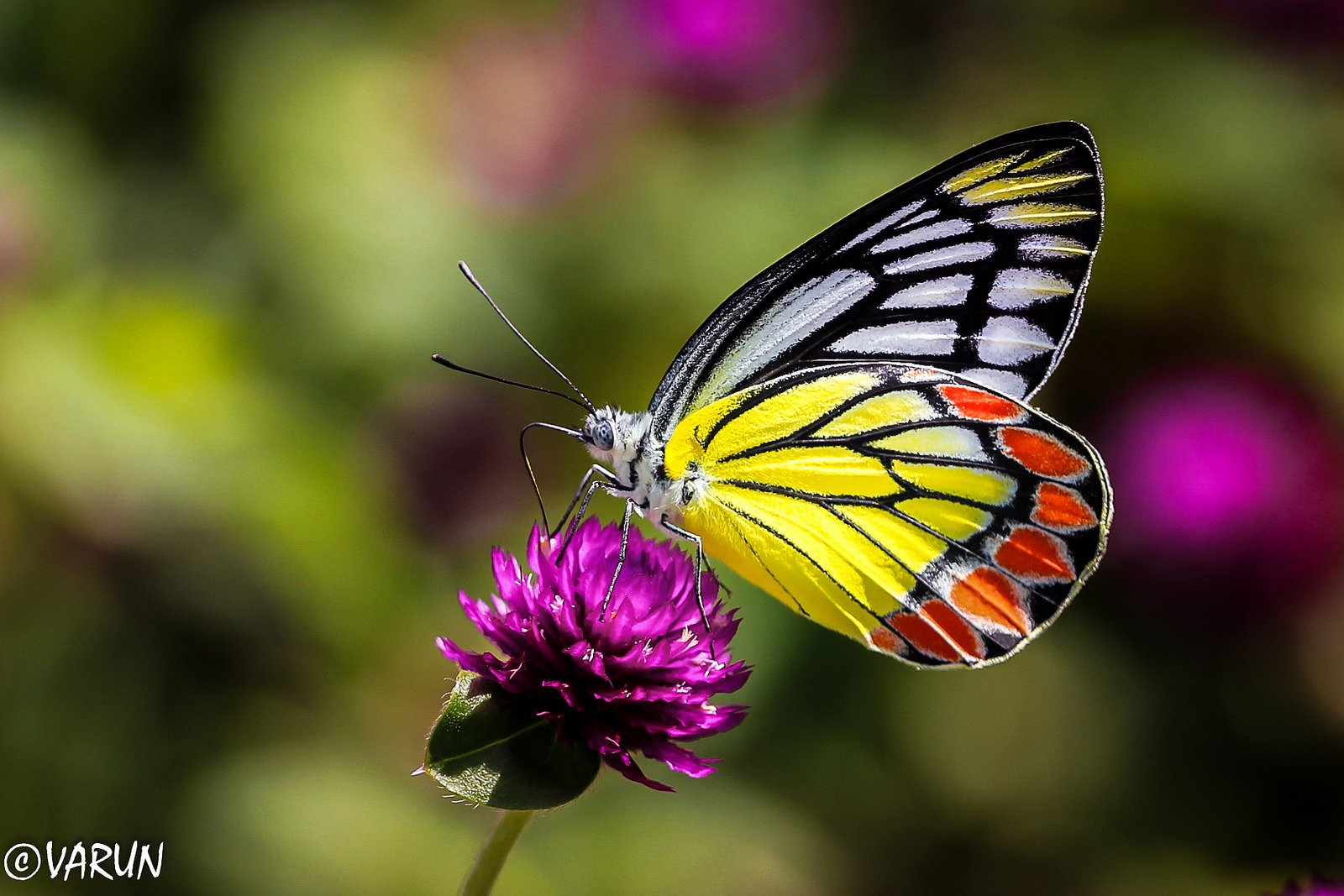 Butterfly nature insects macro zoom close-up wallpaper