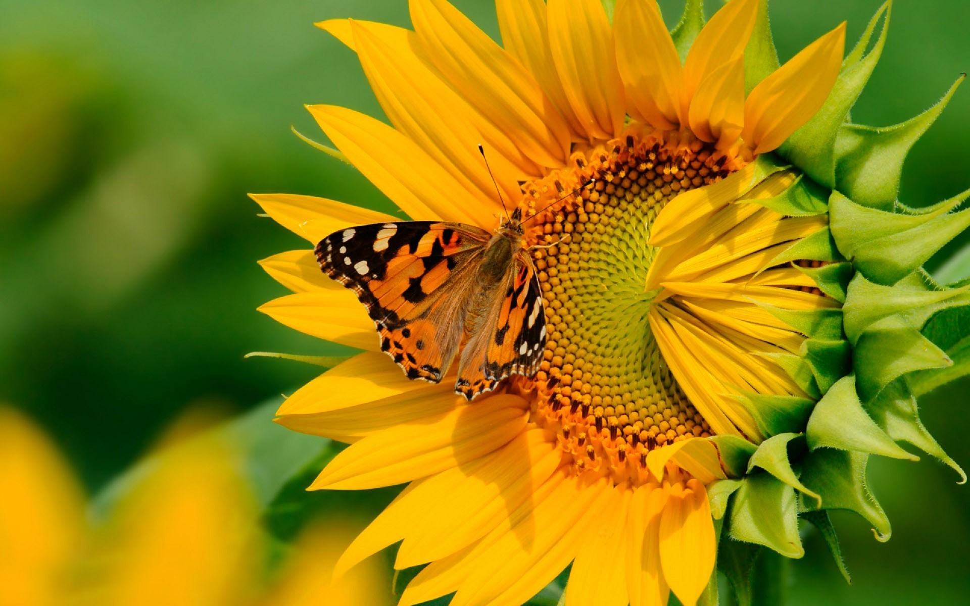 Butterfly on a sunflower