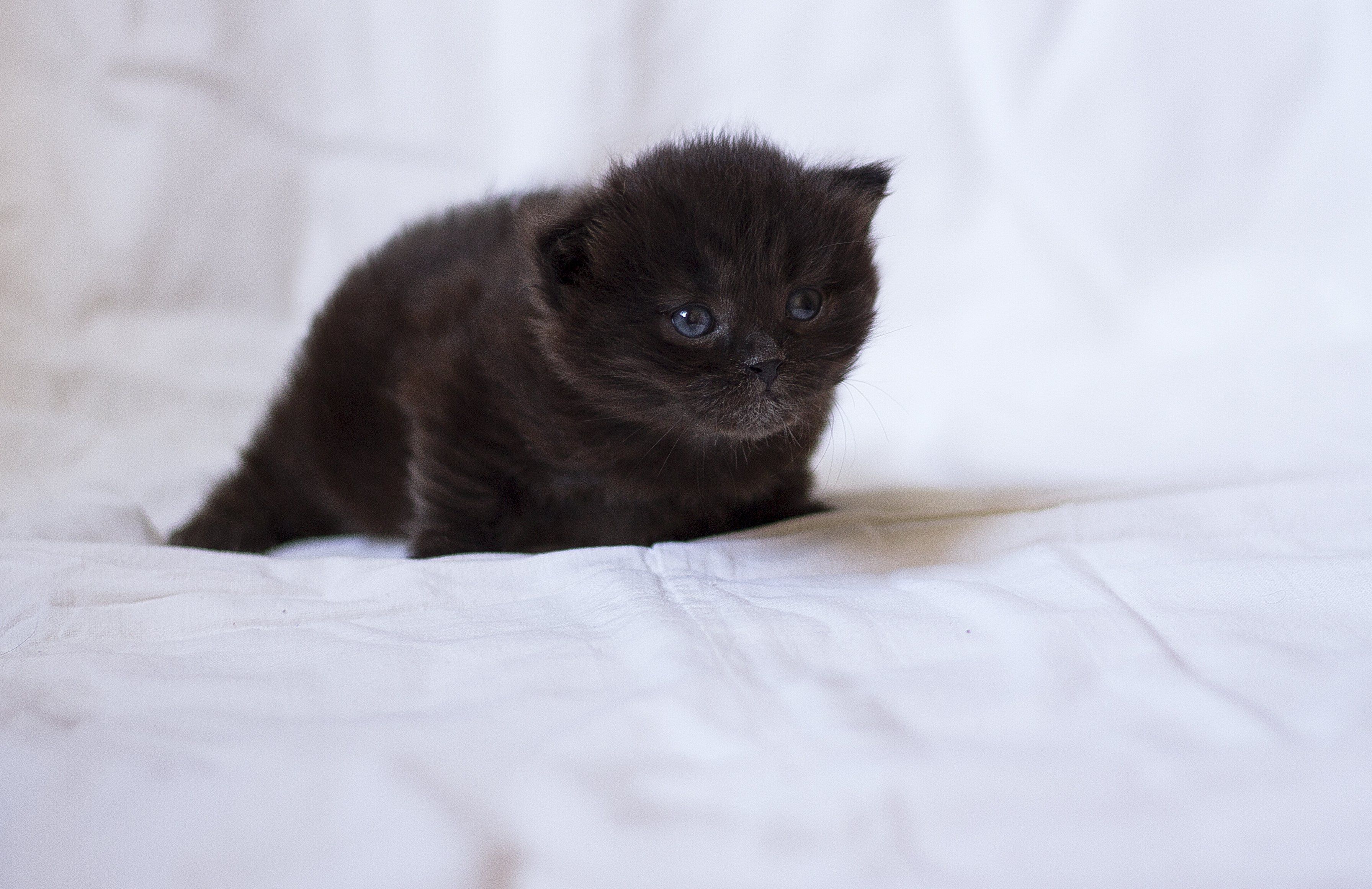 cat kitten Mike Farley cute small chocolate fluffy important g