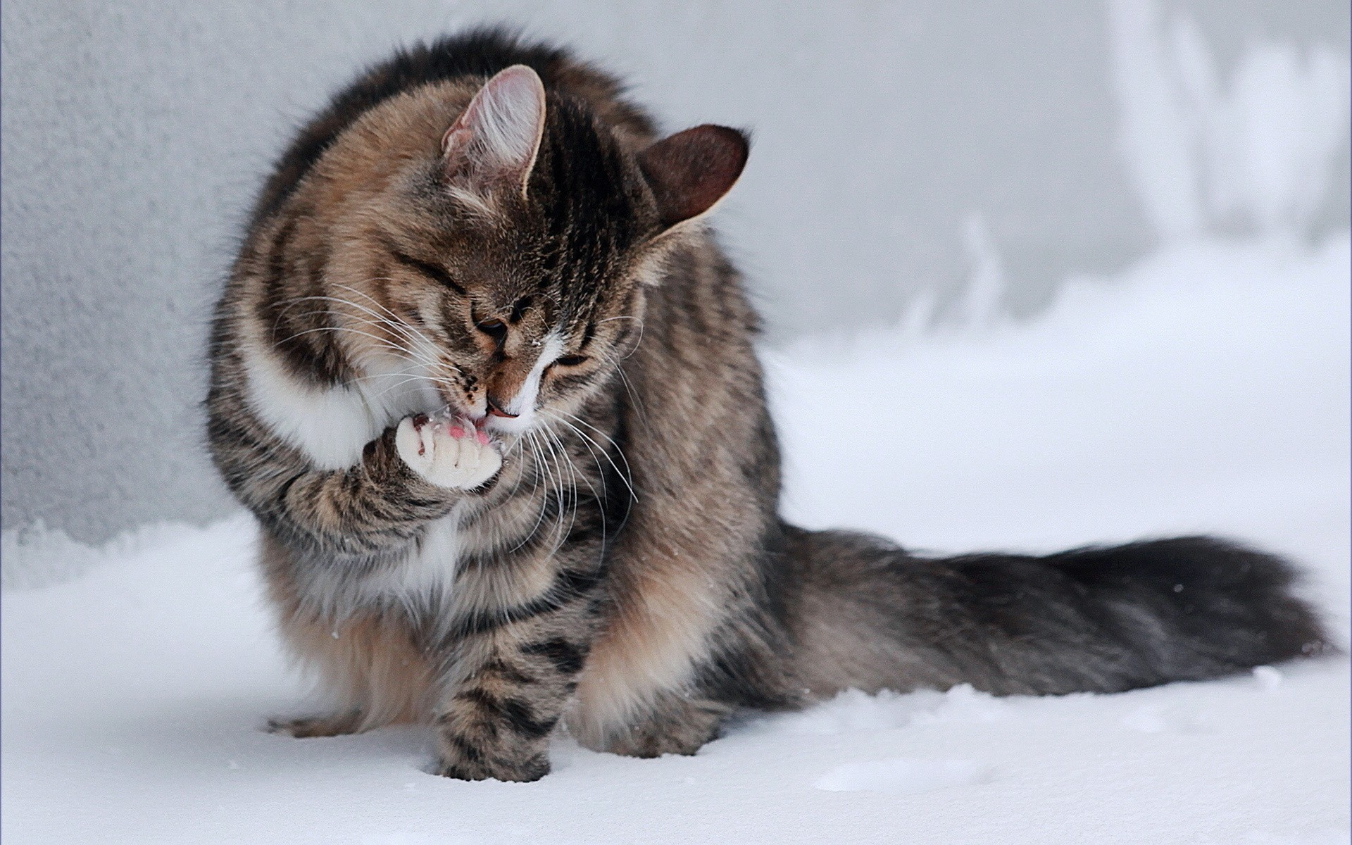 Cat licking its paws