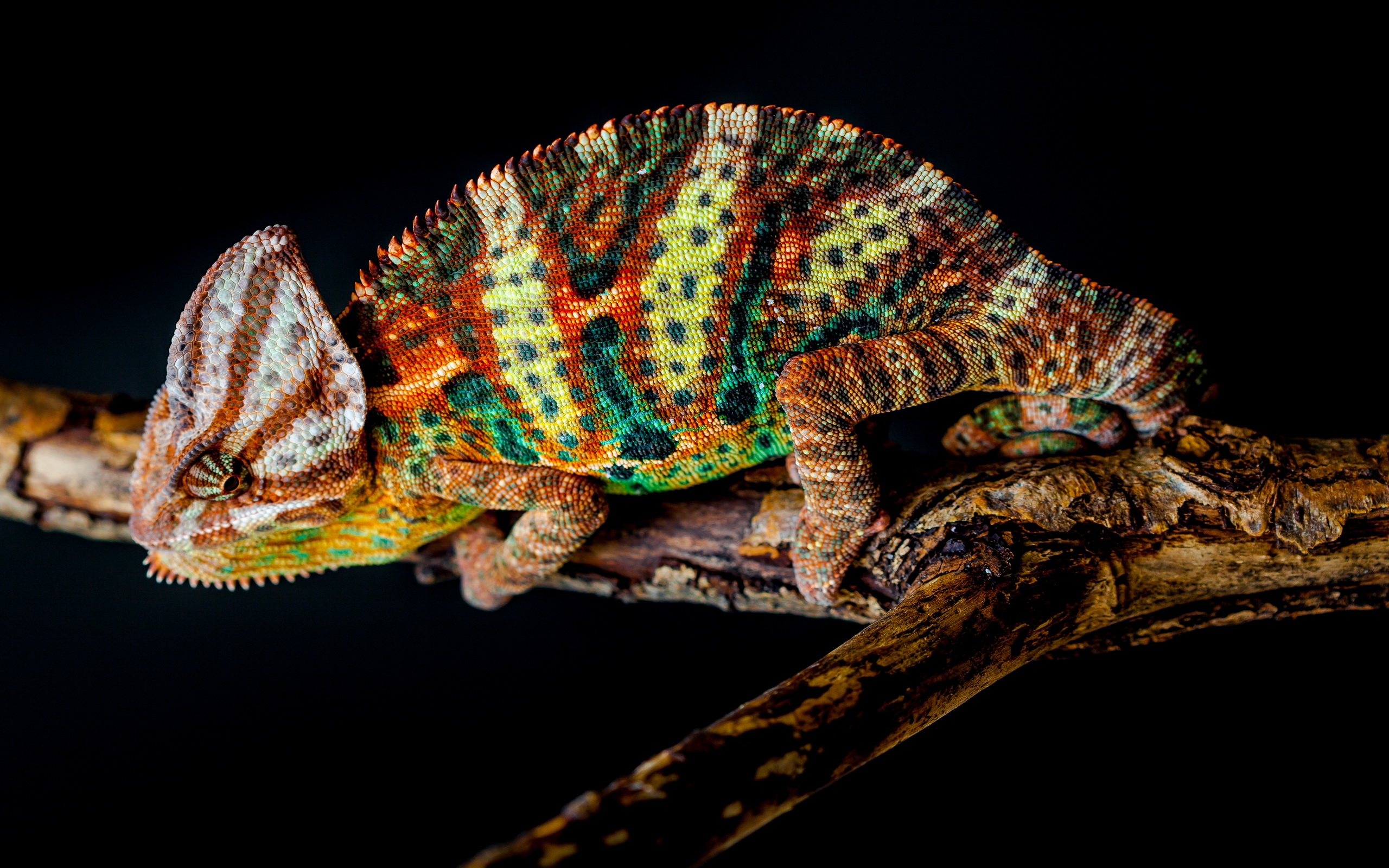 Chameleon HD wallpaper #1554984