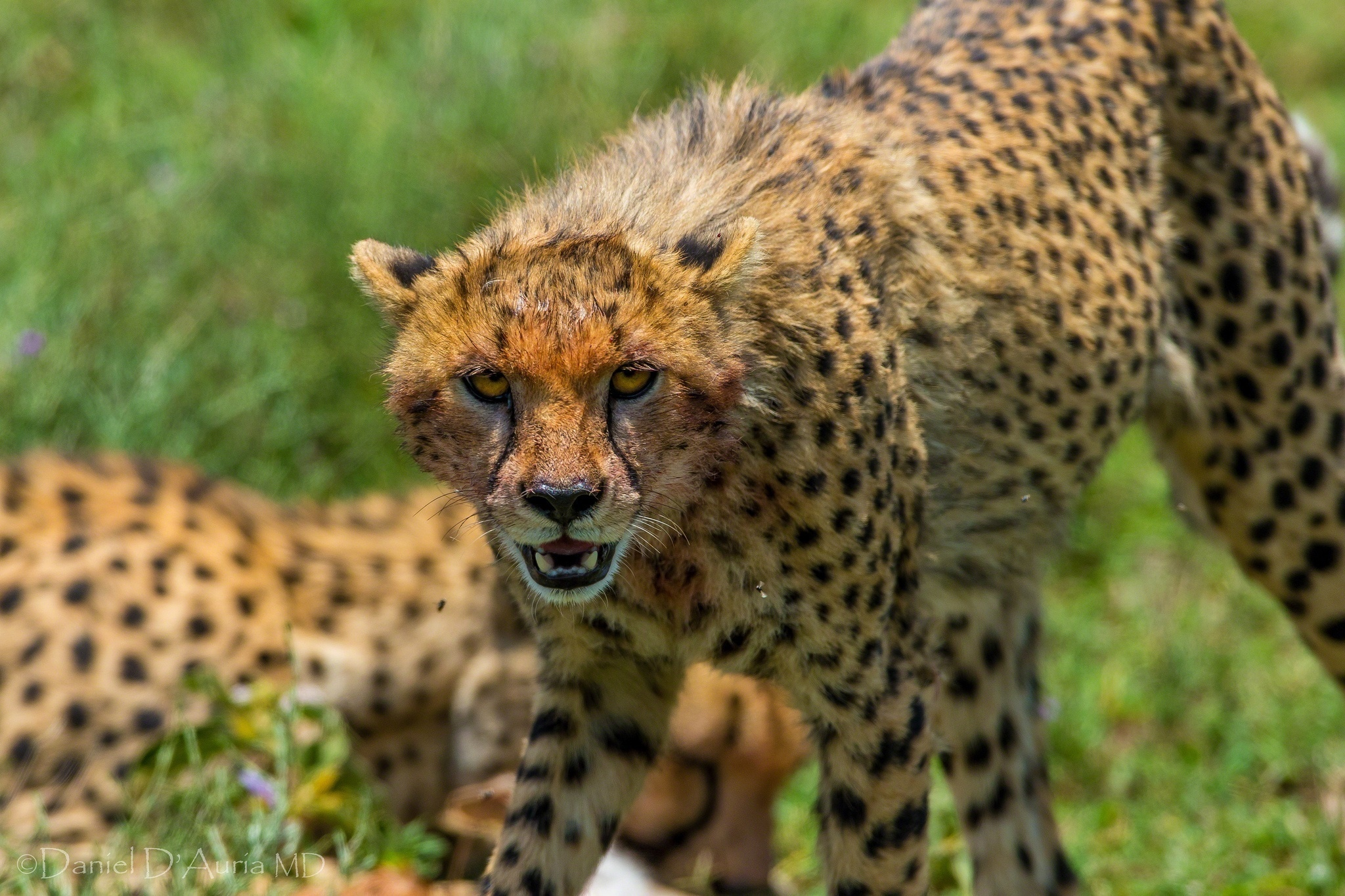cheetah wild cat muzzle threat anger canines
