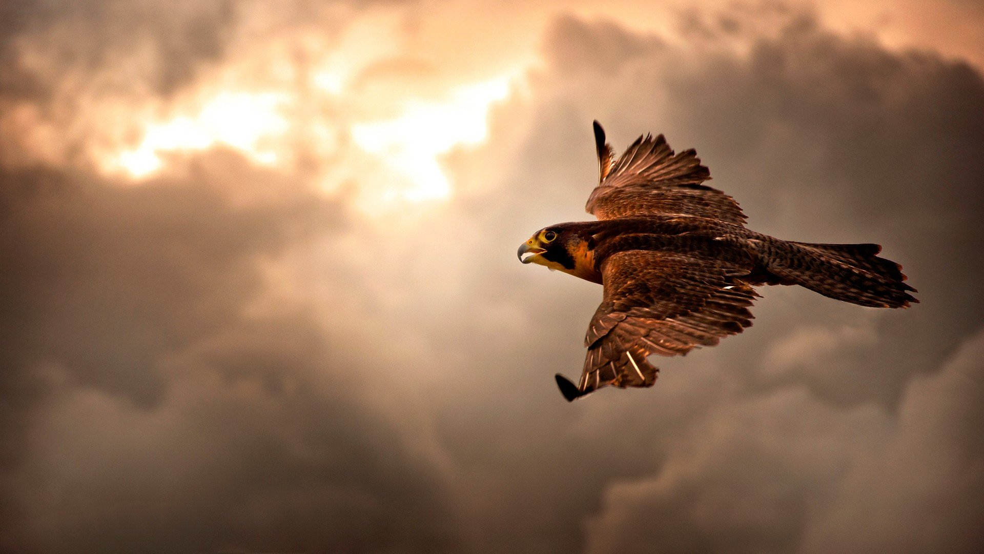 clouds nature birds animals brown interfacelift flight skyscapes hawks