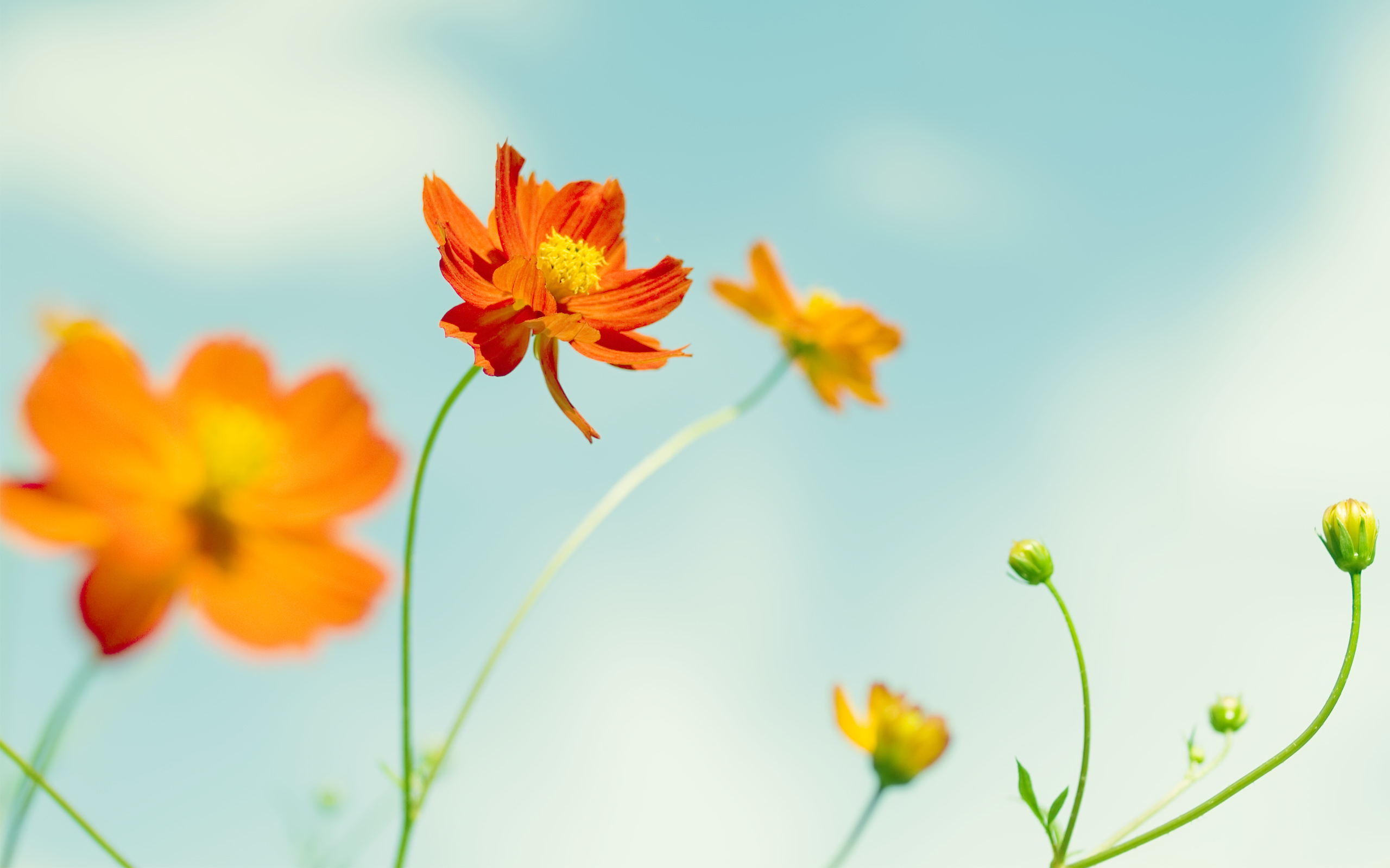 Cosmos Flowers HD