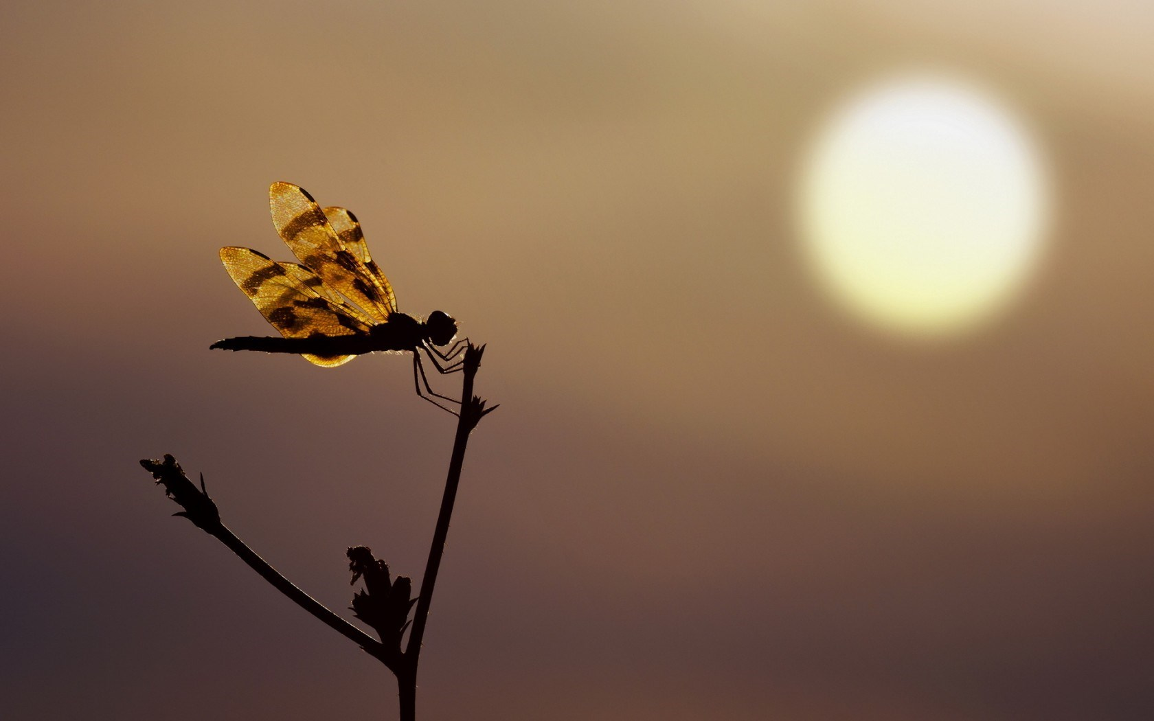 Dragonfly Silhouette Sunset