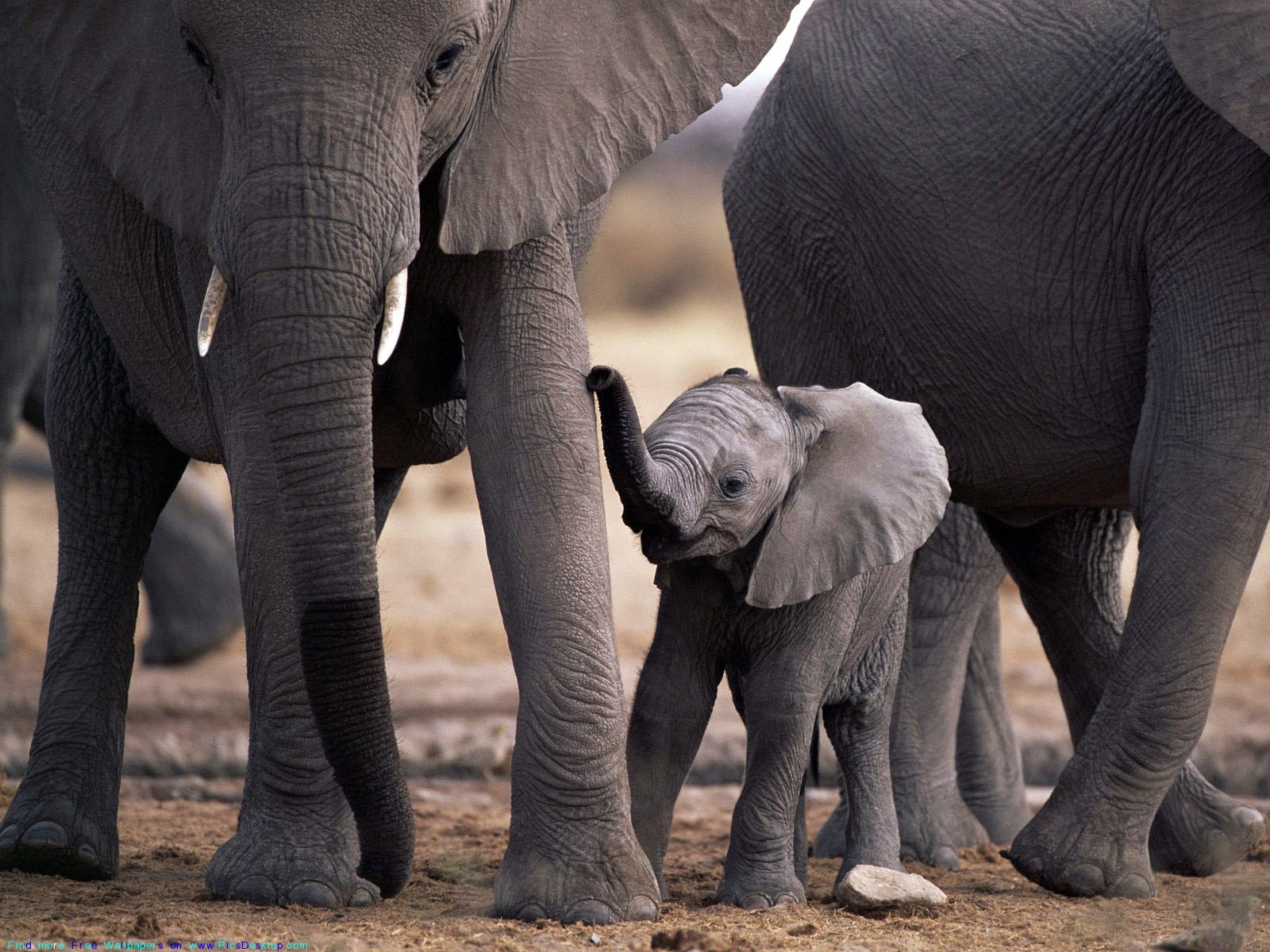 Elephant with calves