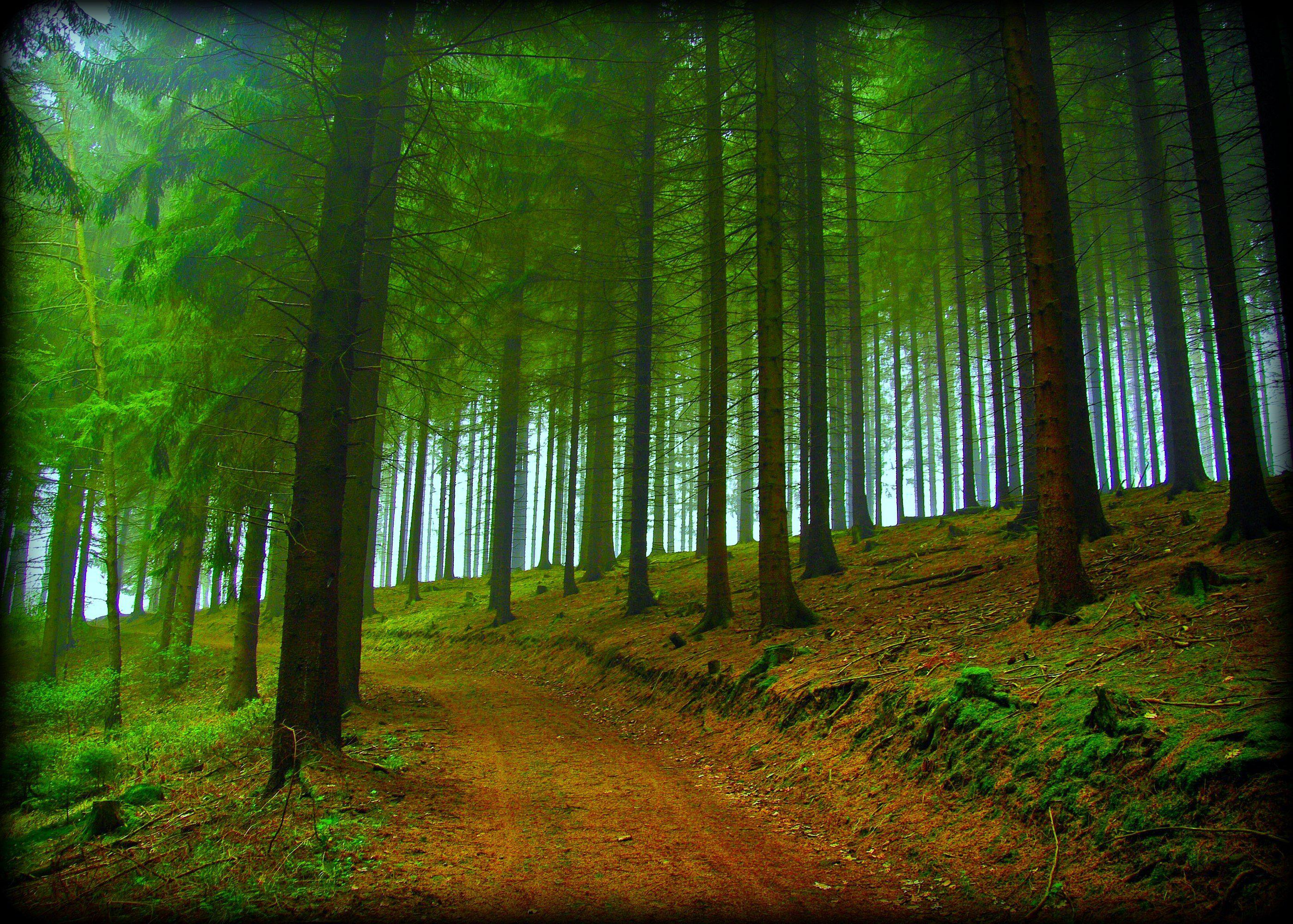 forest road trees fog nature