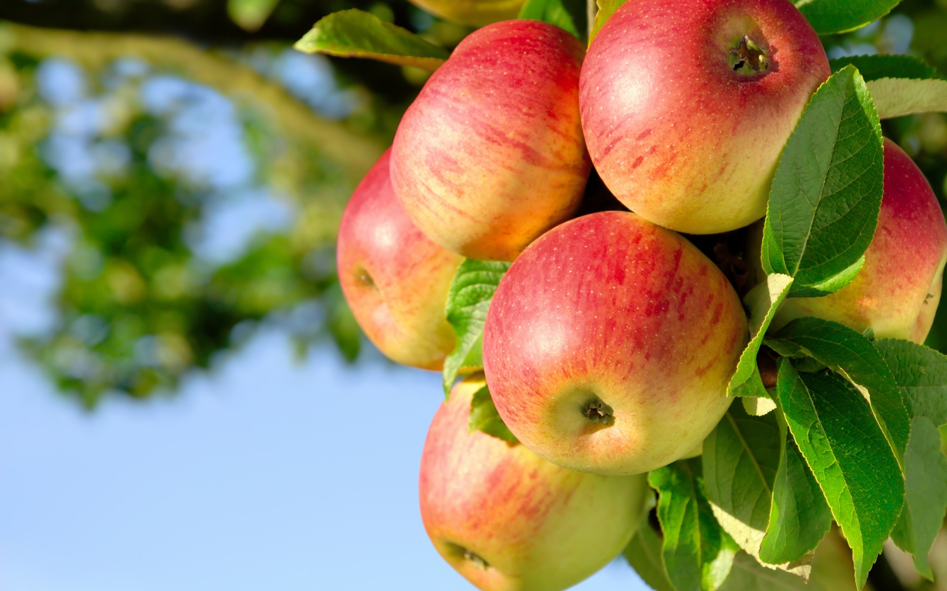fruit apple trees orchard nature