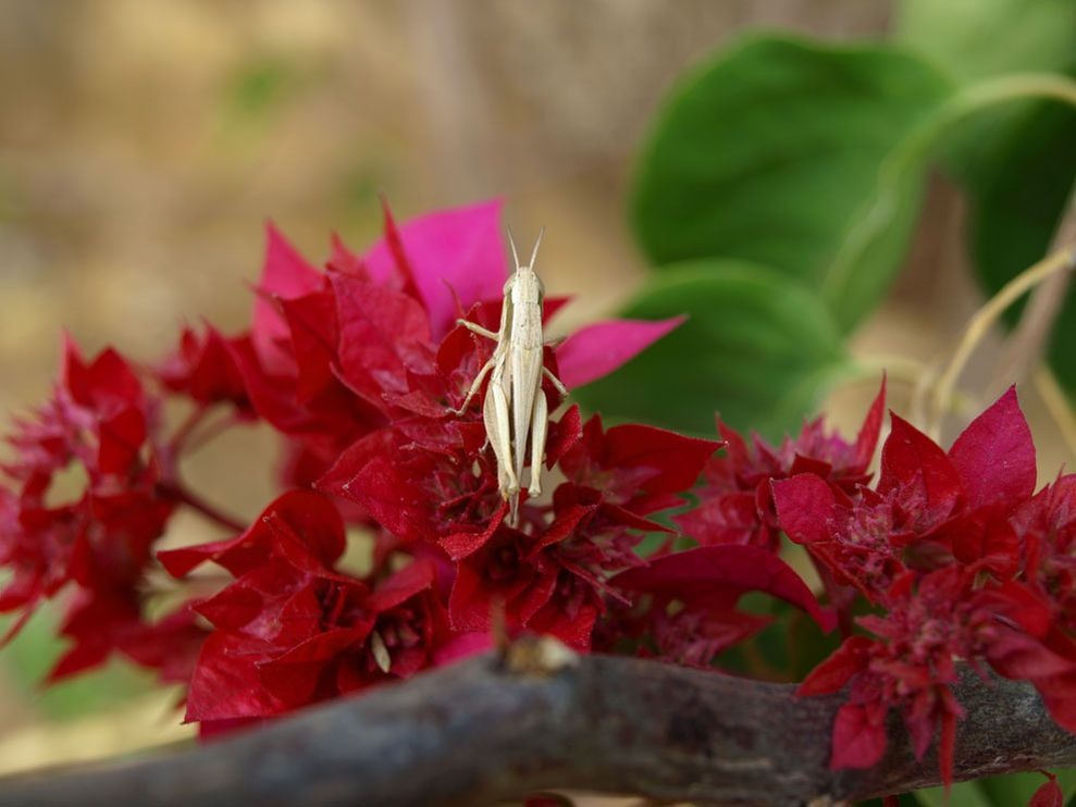 Grasshopper on pink flowers