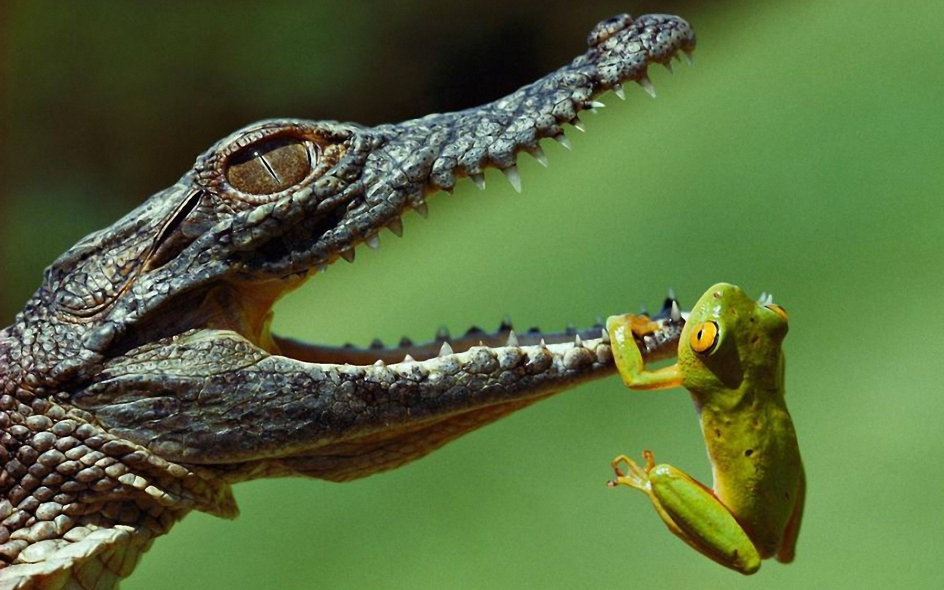 Hanging frogs crocodiles jaws reptiles amphibians