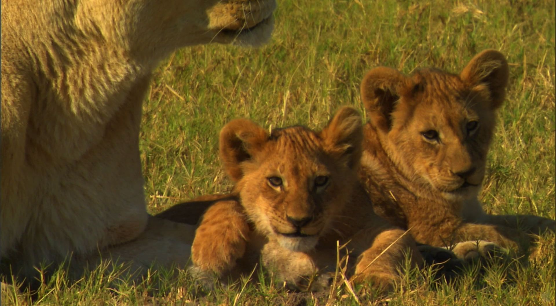 Lioness with her cub