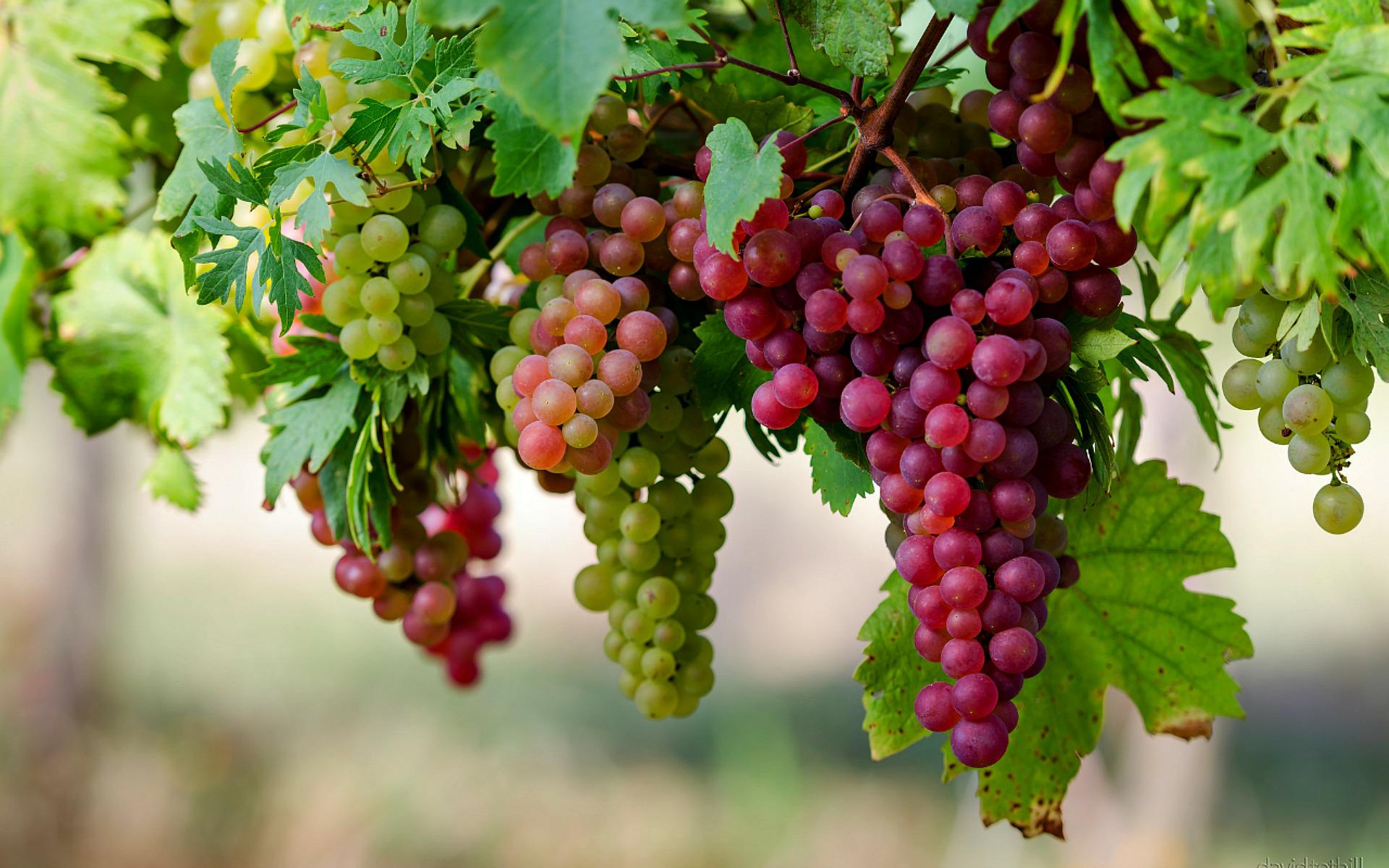 Lovely Grapes Tree
