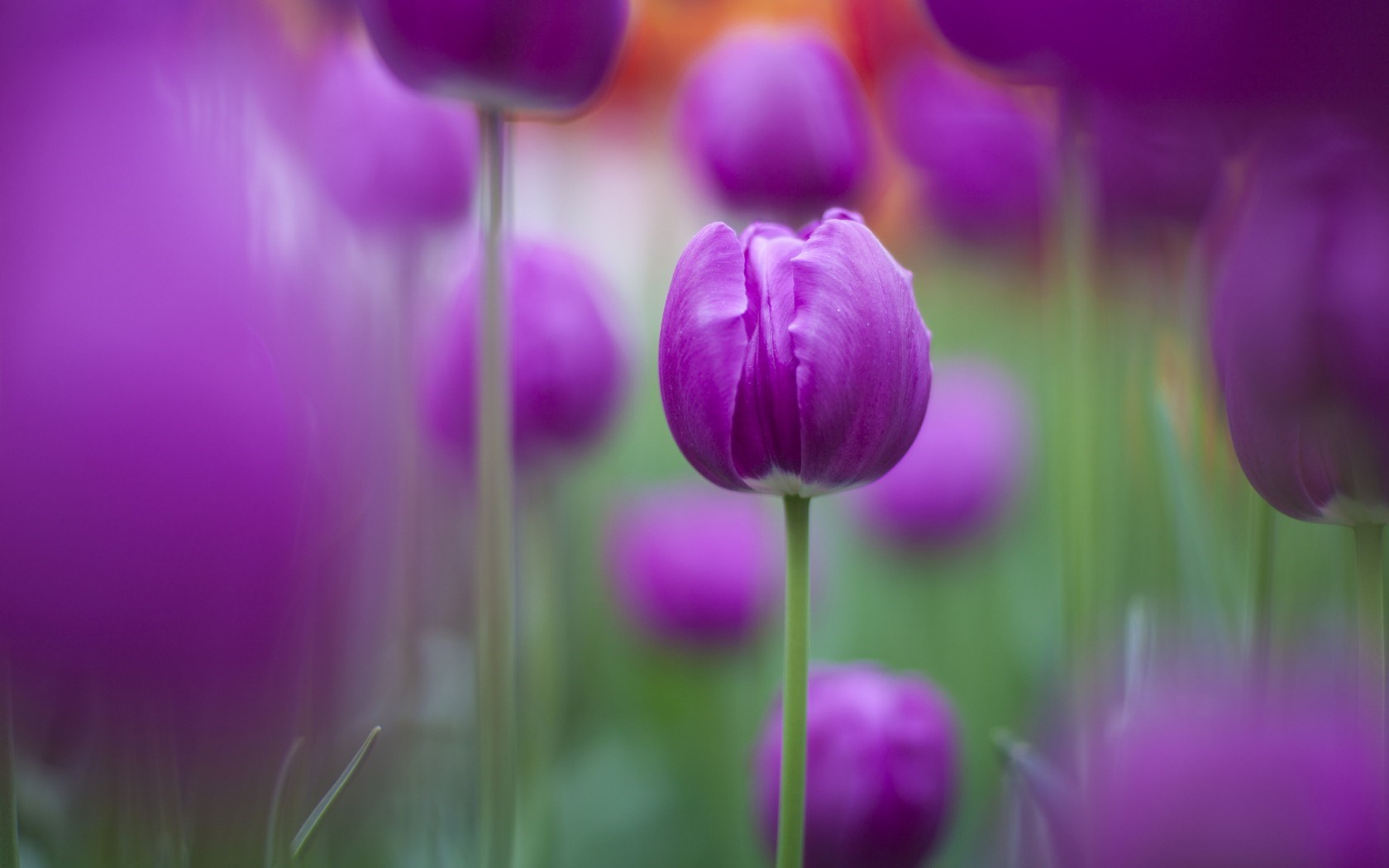 nature flowers tulips purple flowers