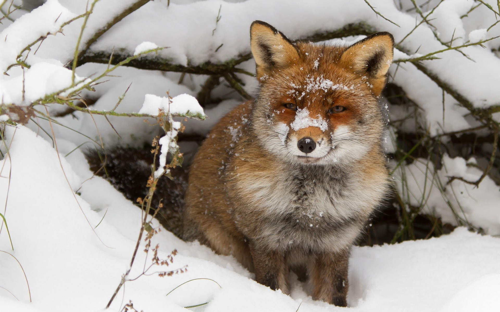 nature winter snow animals cold foxes