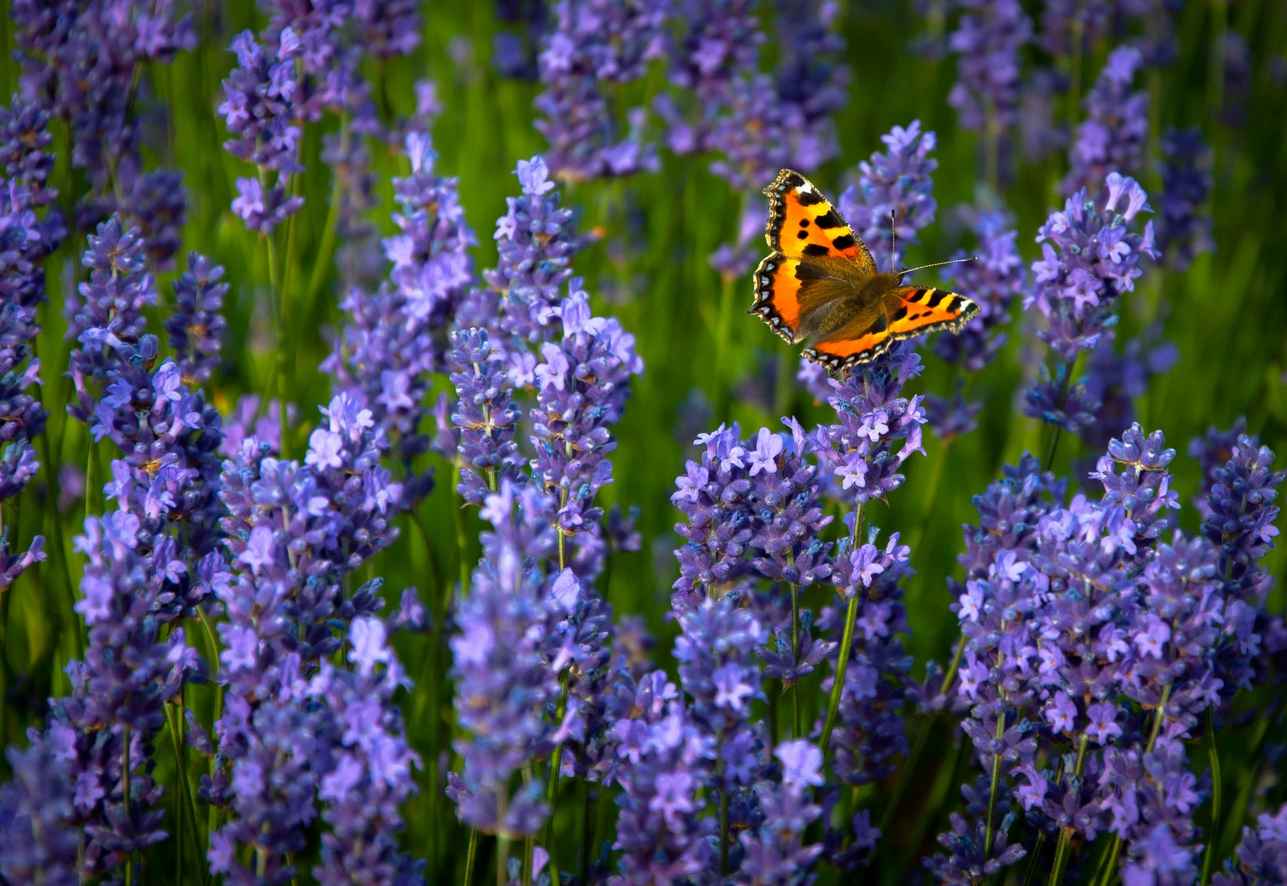 ordinary hives lavender butterfly