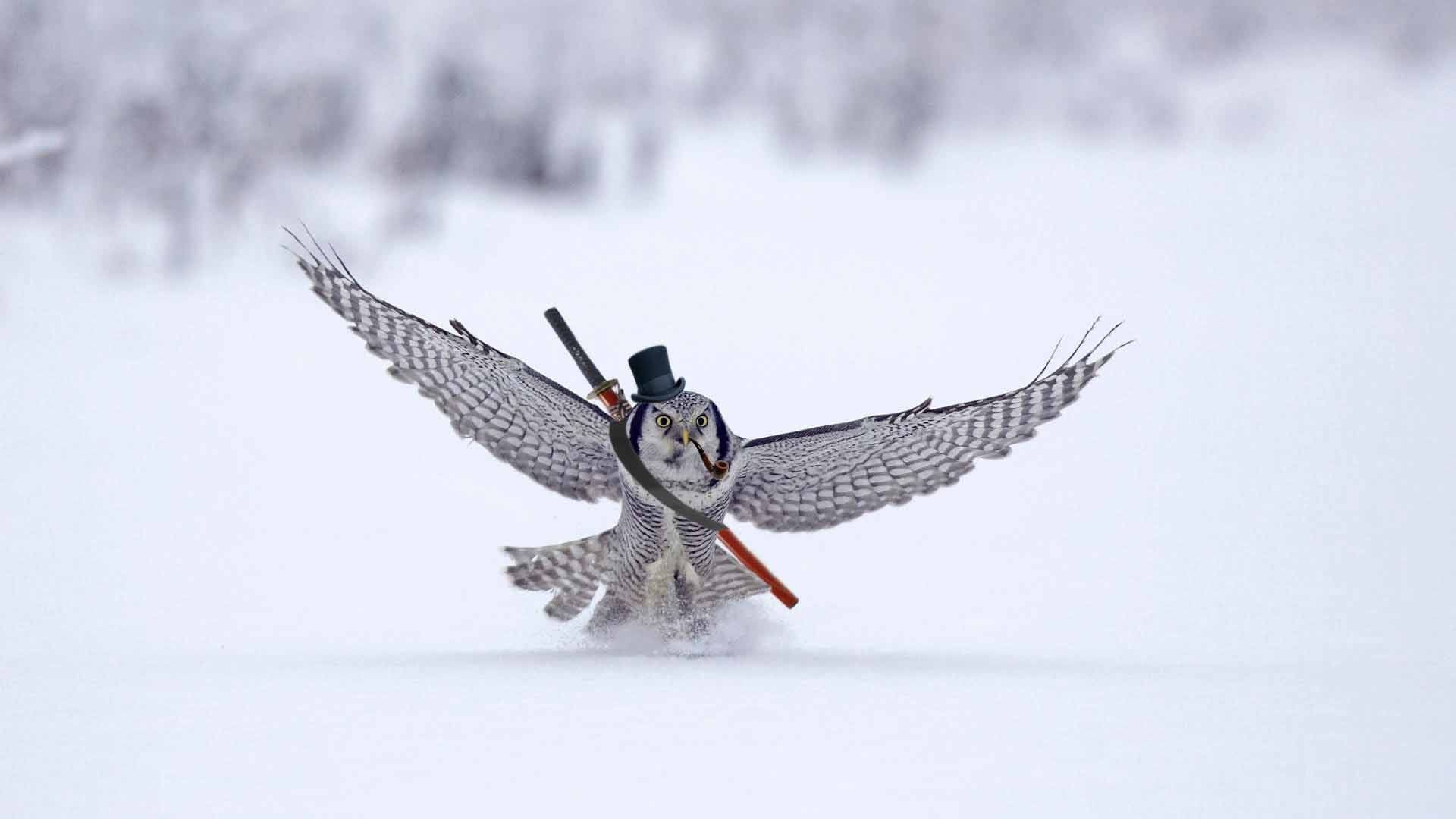 Owl landing in the snow