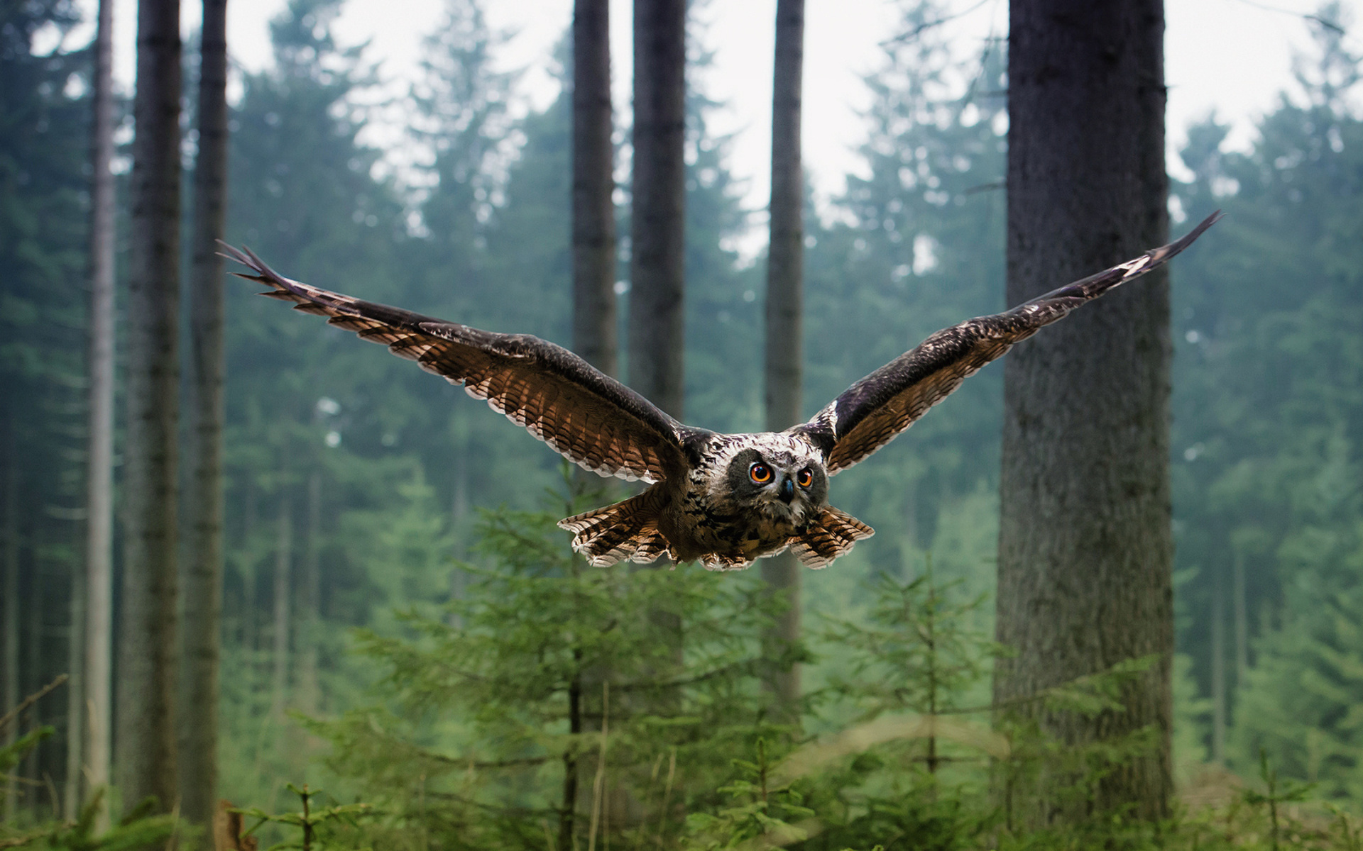 Owls animals birds wildlife predator wings feathers flight fly air nature landscapes trees forest