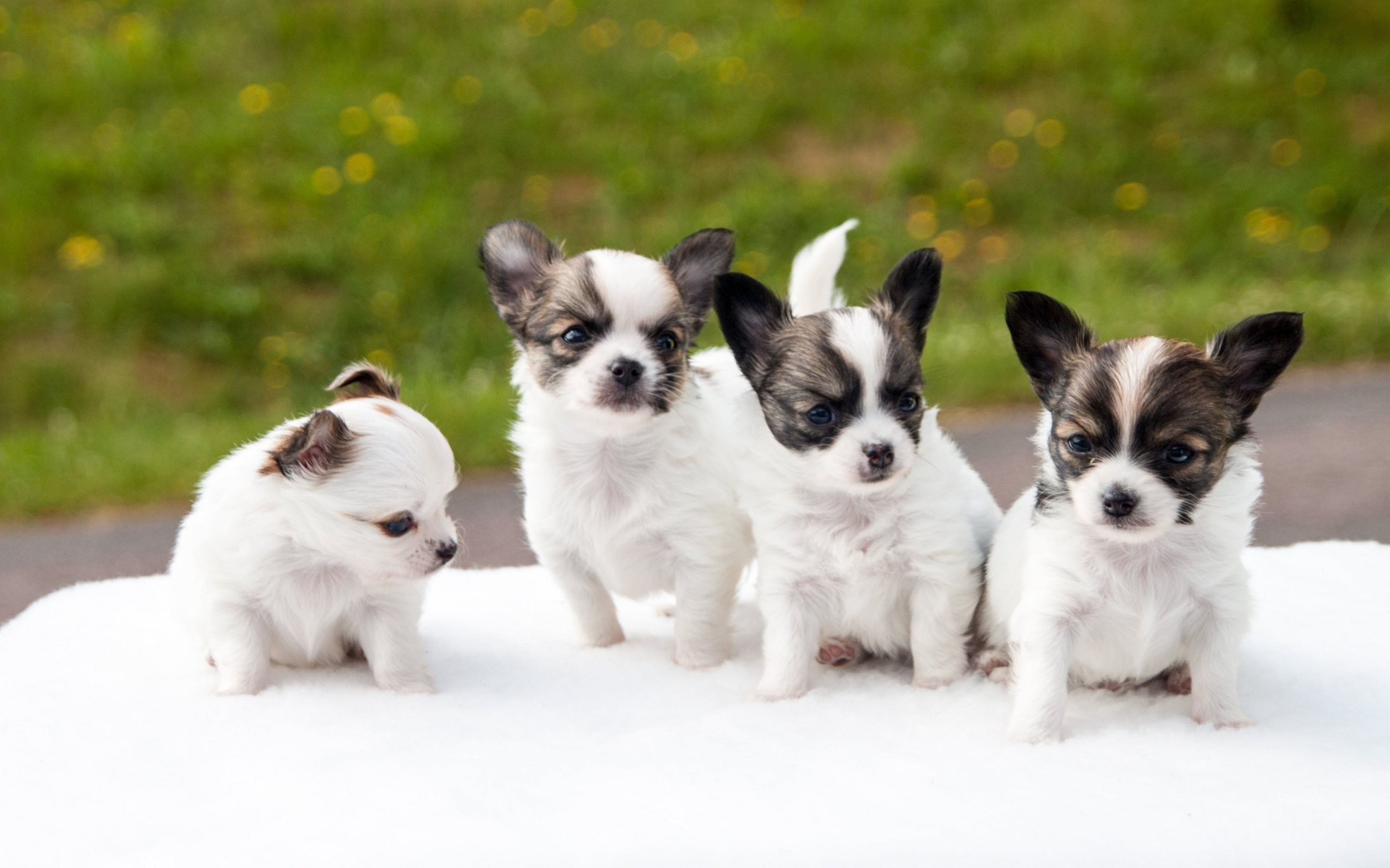 puppies puppy baby dog dogs (64)