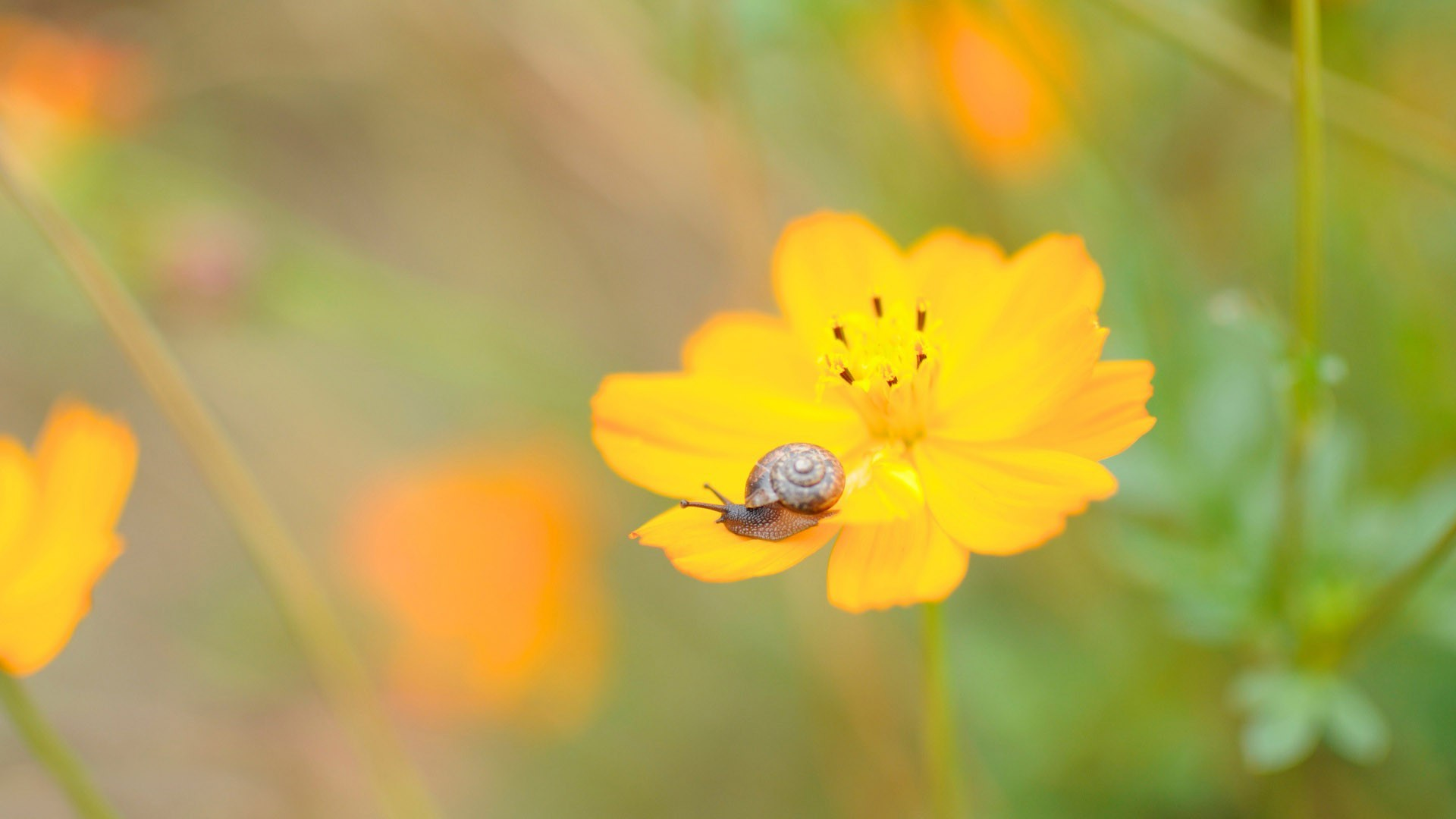 Snail on a Cosmos flower