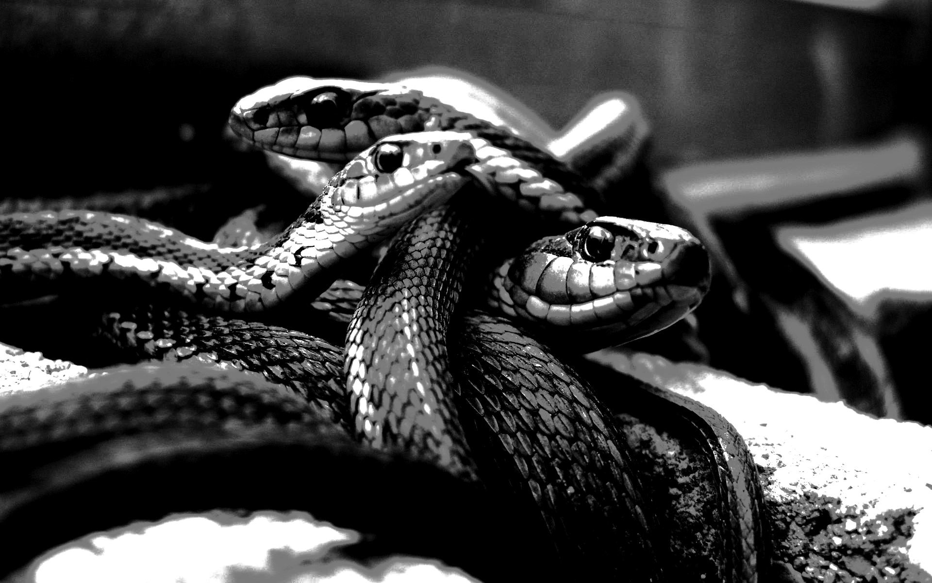 Snakes grayscale monochrome