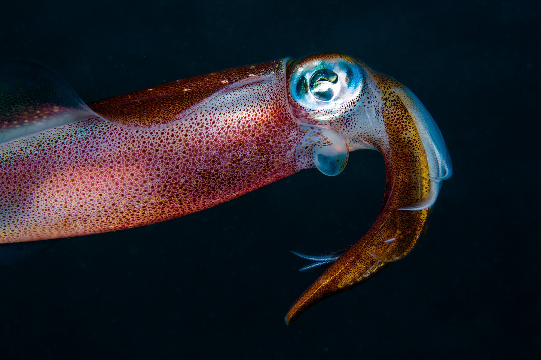 SQUID underwater ocean sea sealife