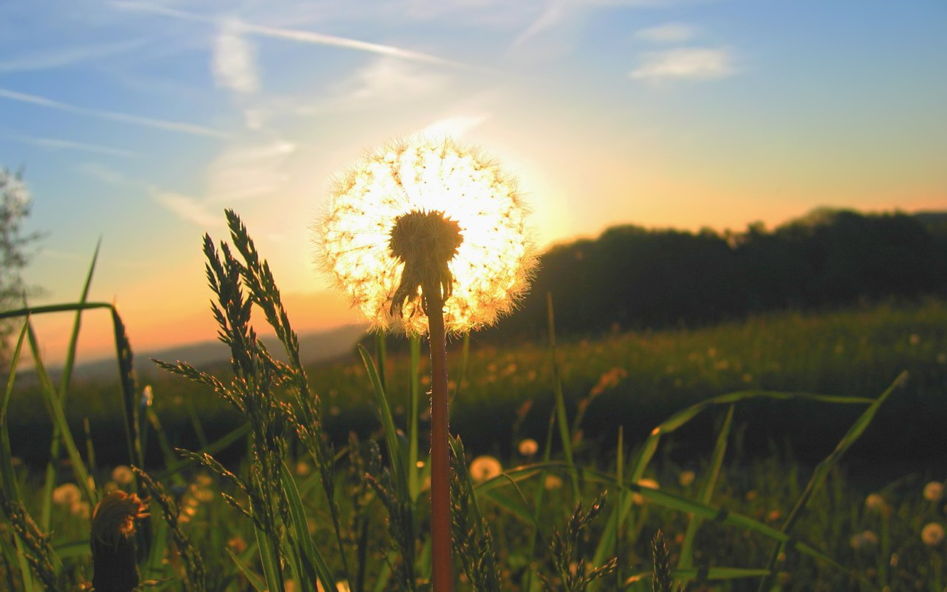 Sunrise behind the dandelion