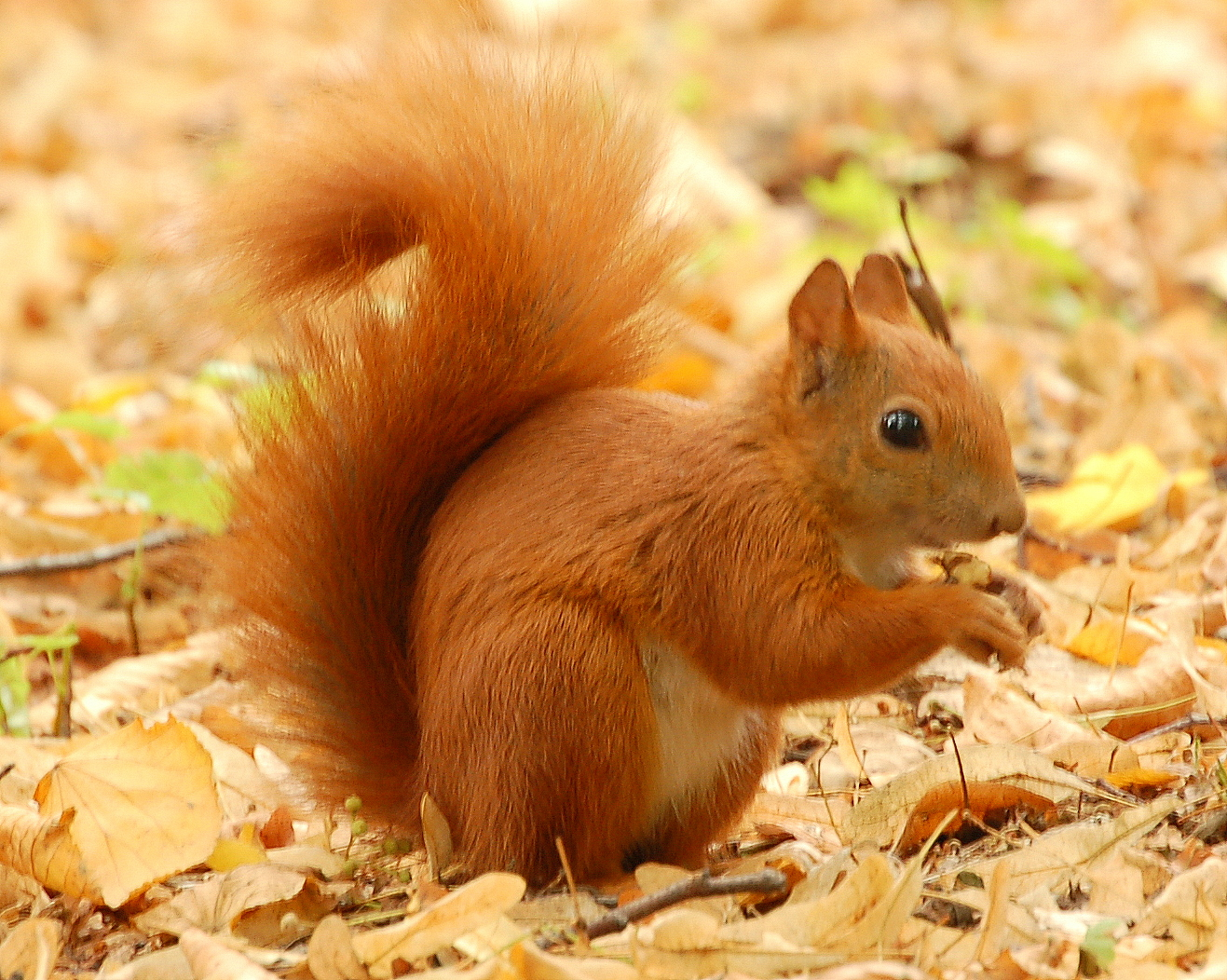 tail animal red squirrel