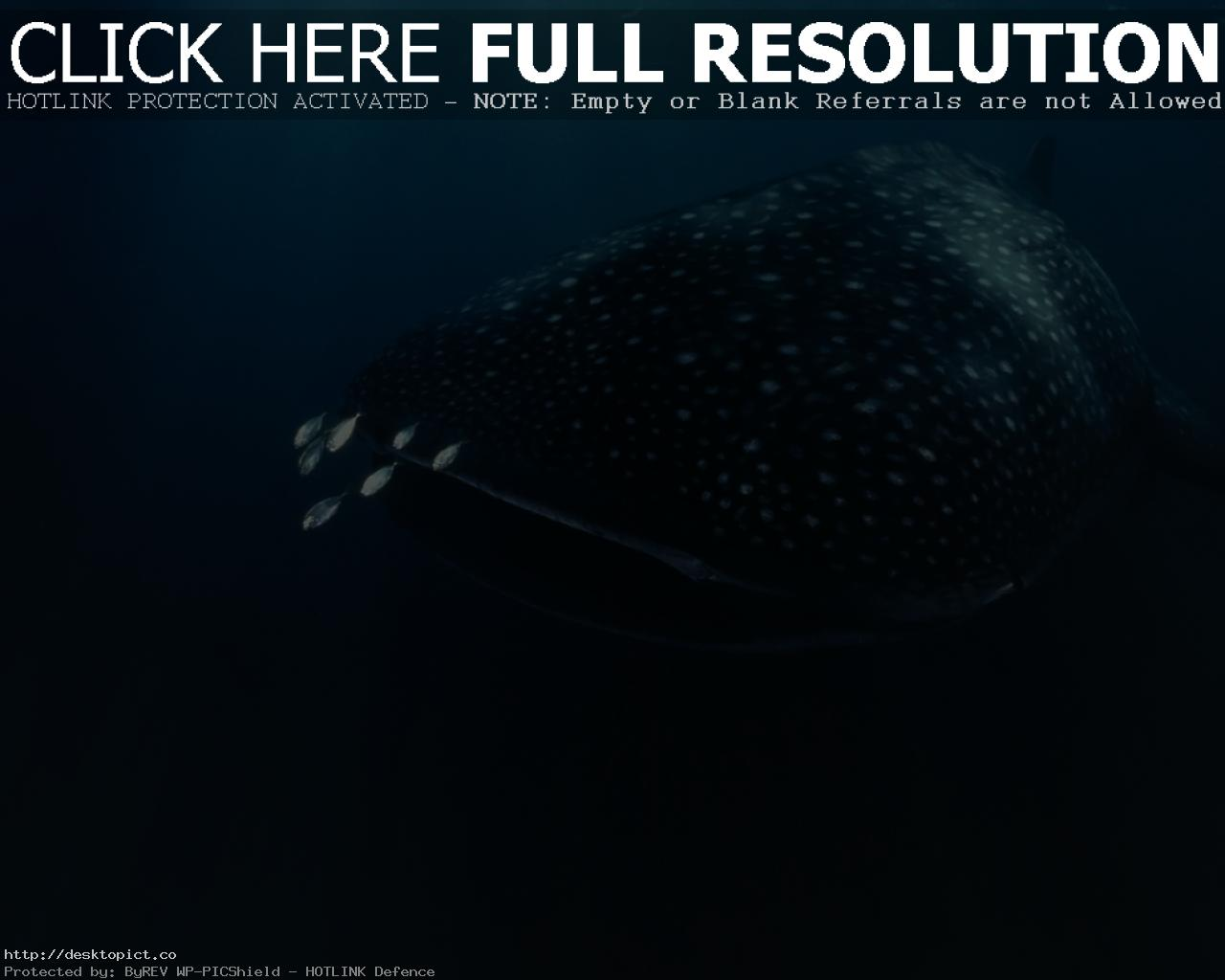 whale shark underwater ocean sea