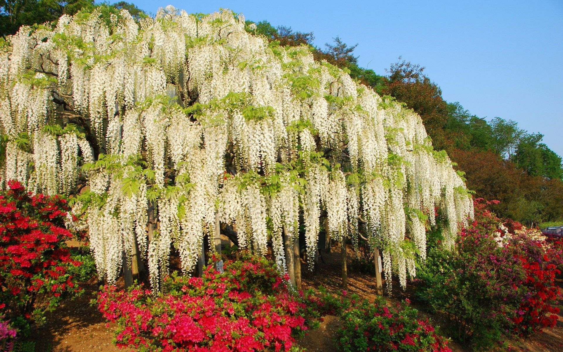 White hanging blossoms
