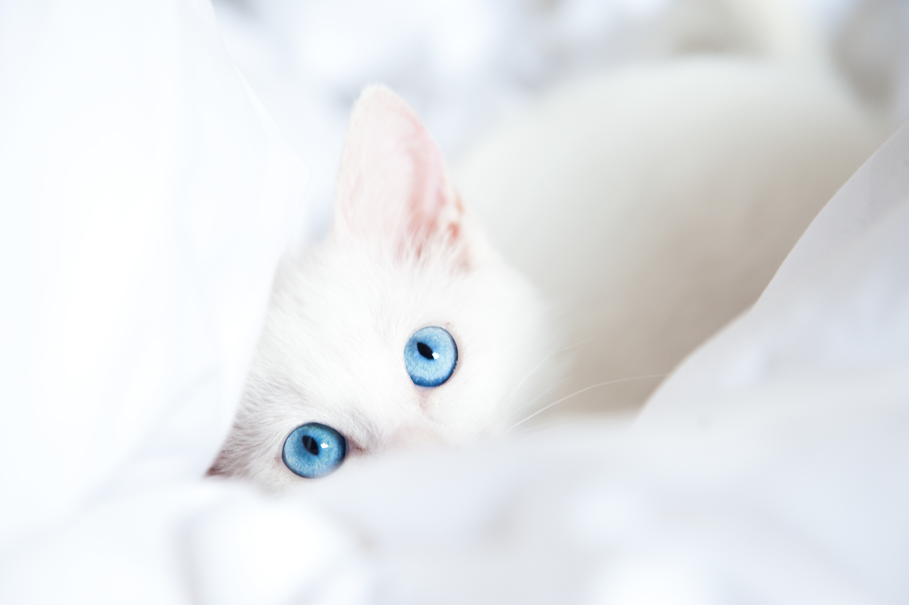 White kitten's blue glance