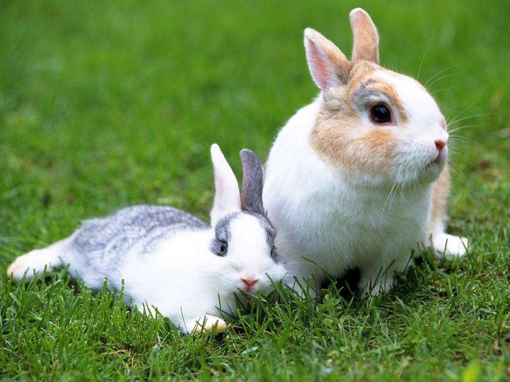 Cute white rabbits wallpapers