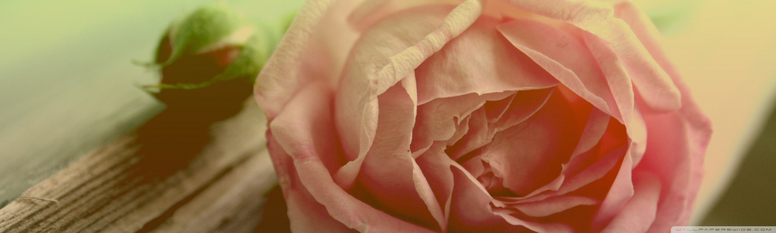Withered Peach Rose