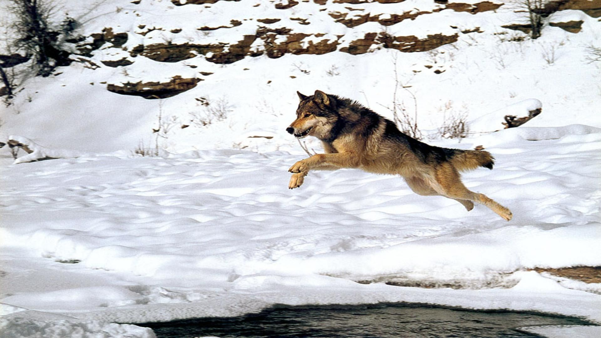wolves pack snow winter wolf