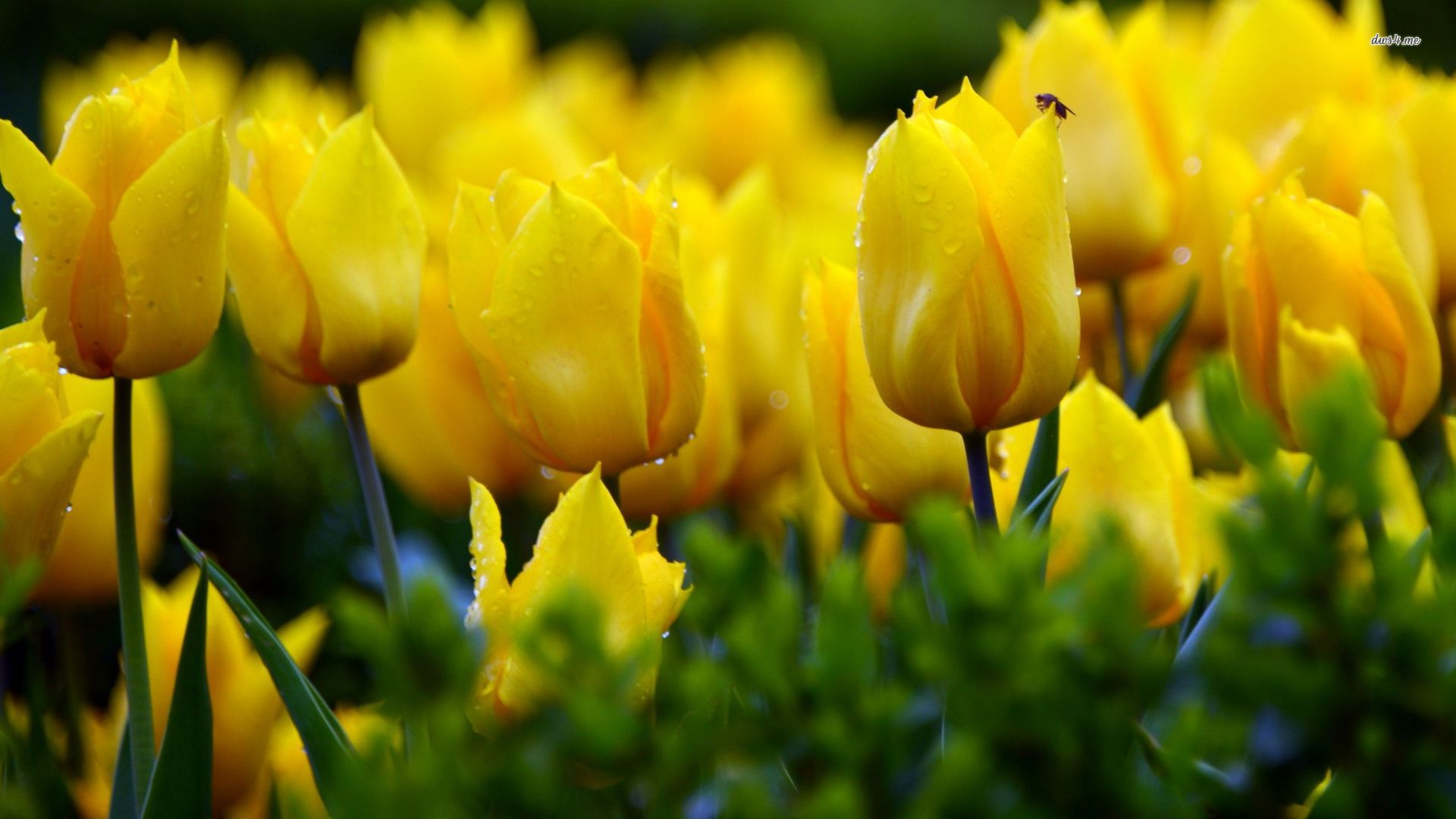 Yelow Tulips
