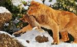 Lion with its dinner